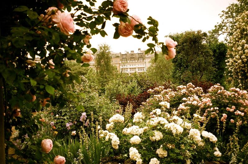Hyde_park_roses_2